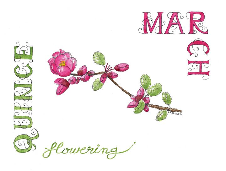March - Flowering Quince - Buster Bone