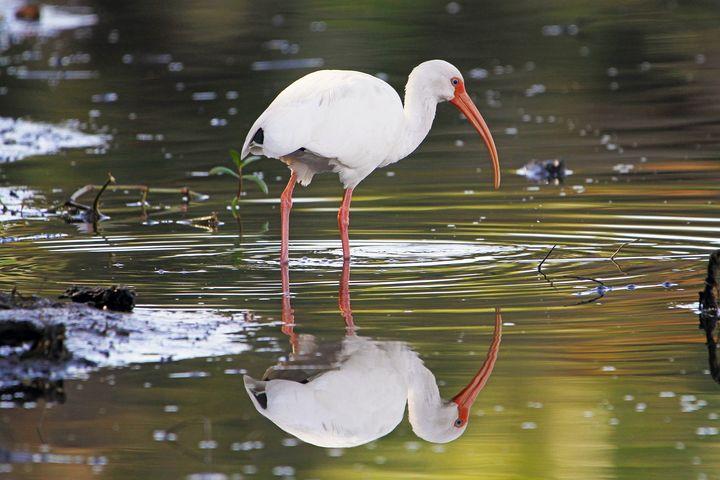 Ibis Reflection - Mike Vanaman Photography