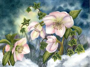 Christmas Roses in Snow - Rebekah's Nature Art
