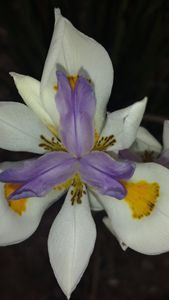 Beautiful Bearded Iris