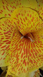 Tiger Spotted Flower