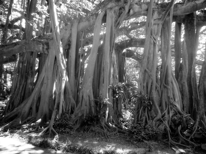 Banyan Tree - JAJ Photography