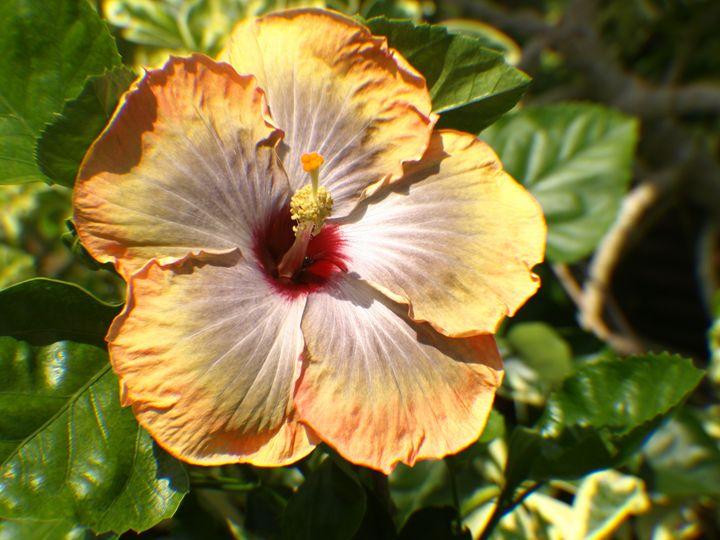 Peach Flower - JAJ Photography