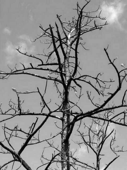 Black and White Barren Tree - JAJ Photography