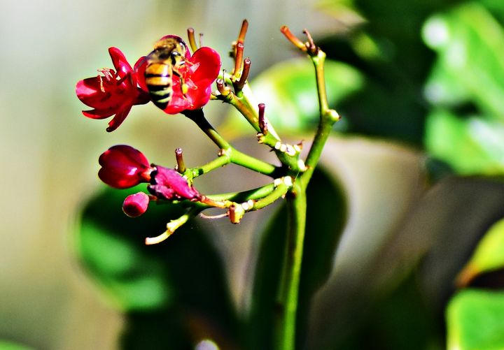 Bee on Flower - JAJ Photography