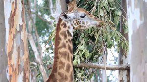 Giraffe grazing in the woods