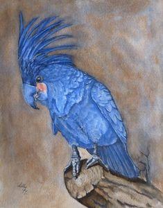 Palmed Cockatoo