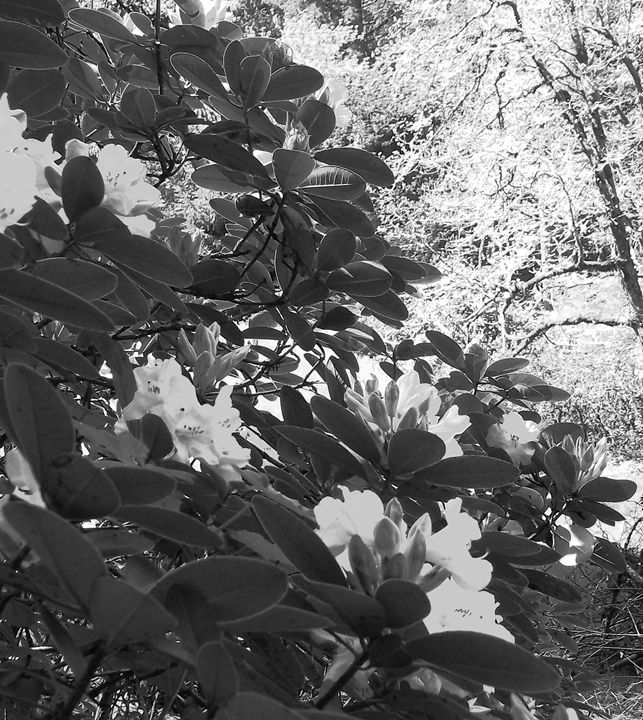 Rhododendrons in Black and WhIte - Laura Nybeck's Art
