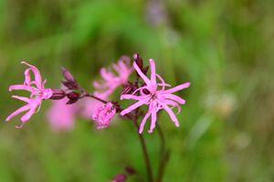 pretty pink pollnagollum