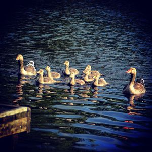 family of geese - stephanie meehan
