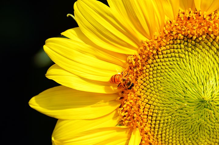 Honeybee Visiting a Sunflower - Catherine Sherman