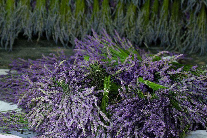 Lavender Bundles - Catherine Sherman