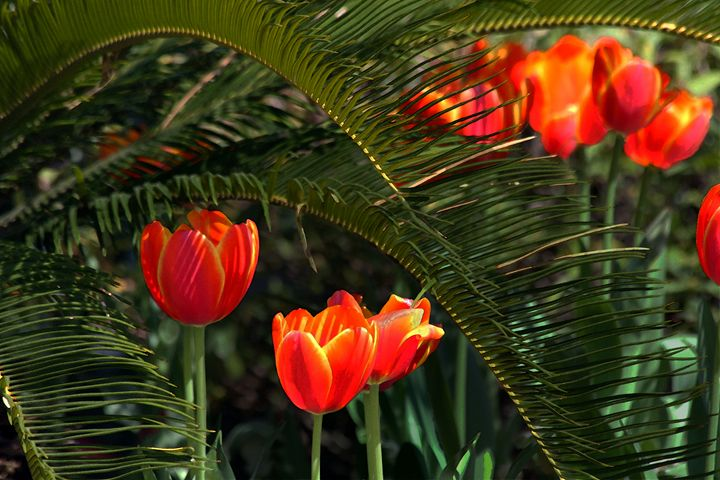 Red Tulips Under a Palmetto - Catherine Sherman