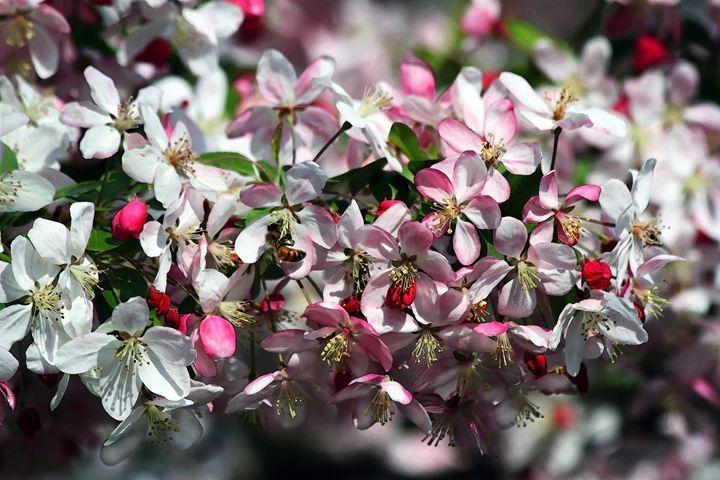 Honeybee Visits Crabapple Blossoms - Catherine Sherman