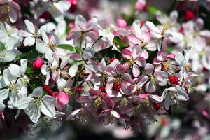 Honeybee Visits Crabapple Blossoms - Catherine Sherman