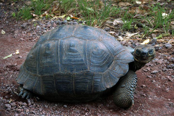 Curious Giant Galapagos Tortoise - Catherine Sherman