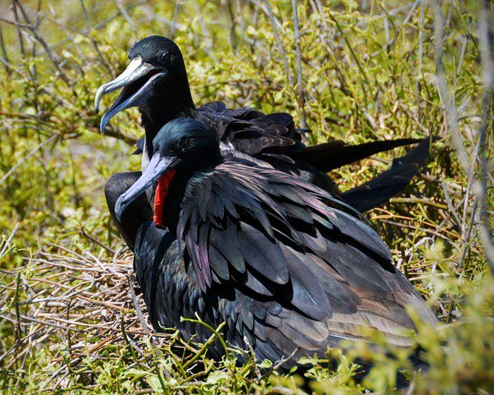 Frigatebirds in Love - Catherine Sherman