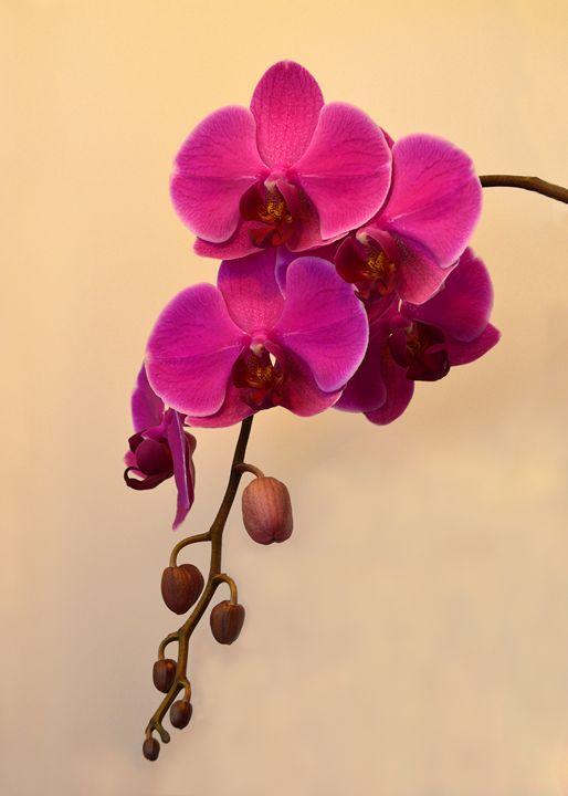 Magenta Phalaenopsis - Catherine Sherman