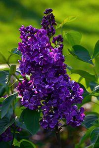 Purple French lilac. - Catherine Sherman