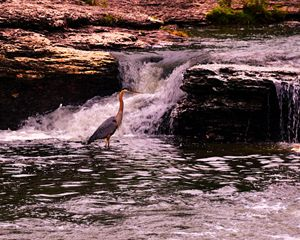 Great Blue Heron at Watts Mill - Catherine Sherman