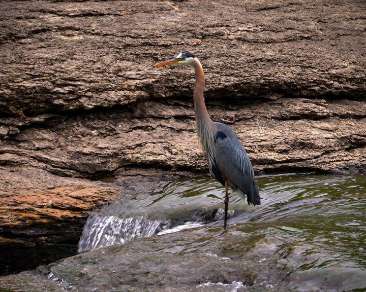 Great Blue Heron at the Falls - Catherine Sherman