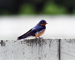 Barn Swallow at Fort Larned - Catherine Sherman