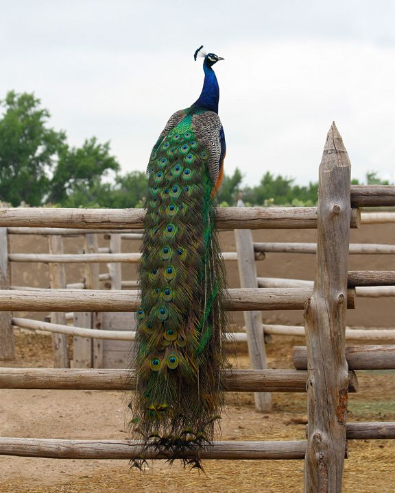 Peacock in the Bent's Fort Corral - Catherine Sherman