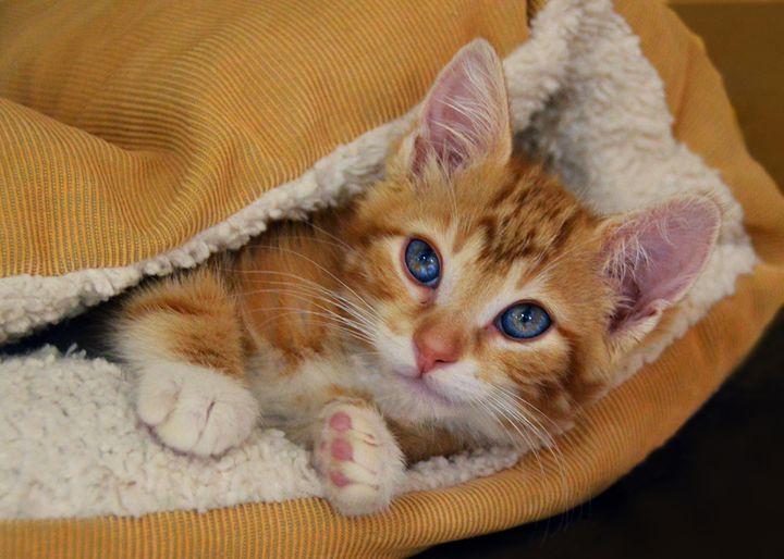 Orange Kitten in Orange Bed - Catherine Sherman