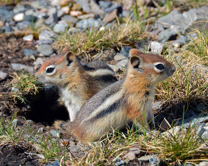 Ground Squirrels at Molas Pass - Catherine Sherman