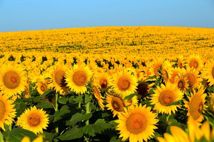 Endless Sunflowers - Catherine Sherman - Photography