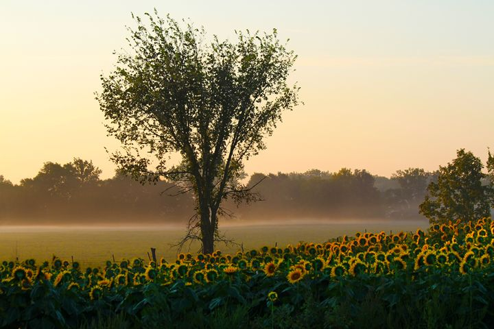 Morning Sunflowers - Catherine Sherman