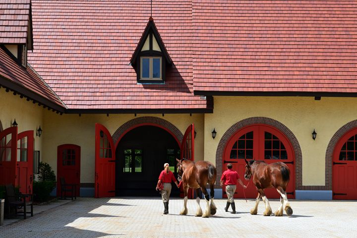 Budweiser Clydesdales, New Hampshire - Catherine Sherman
