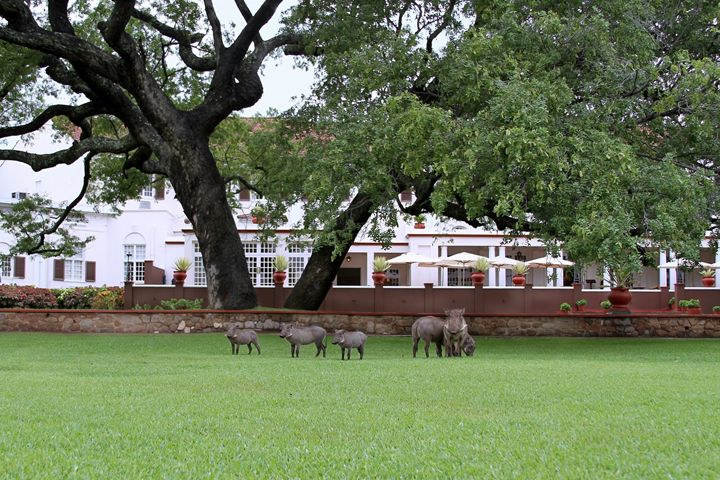 Warthogs at the Victoria Falls Hotel - Catherine Sherman