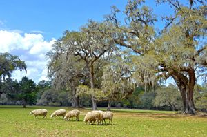 Sheep Grazing at Middleton Place - Catherine Sherman
