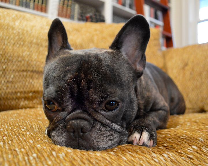 Pondering Frenchie Pup - Catherine Sherman