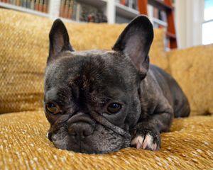 Pondering Frenchie Pup - Catherine Sherman