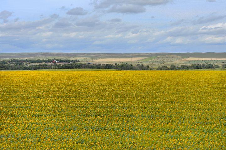 South Dakota Sunflower Farm - Catherine Sherman