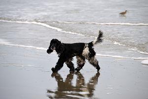 English Cocker Spaniel on the Beach - Catherine Sherman