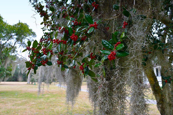 Holly Tree with Spanish Moss - Catherine Sherman