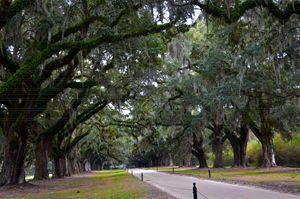 Boone Hall Avenue of Oaks - Catherine Sherman
