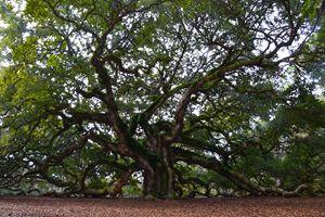 Angel Oak in South Carolina - Catherine Sherman