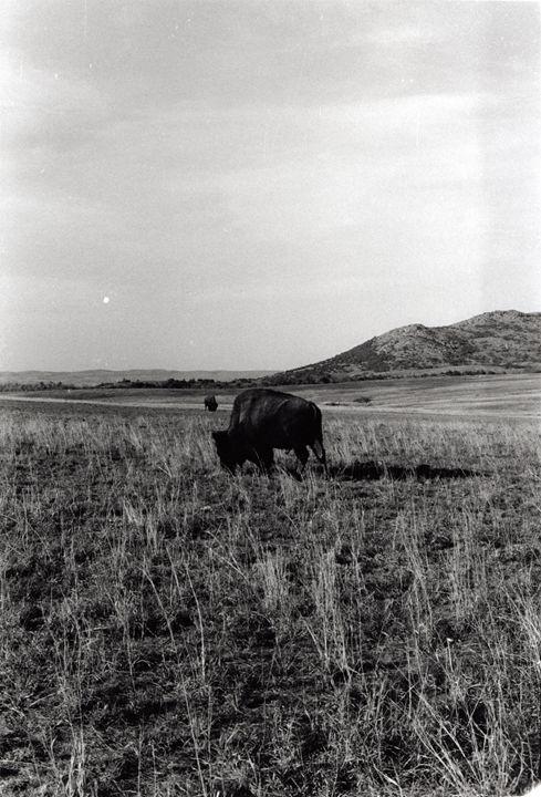 Buffalo - Megan C Photography