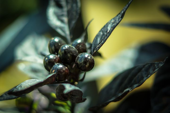 Black Chillies - Art of Jaikumar