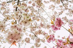 Cherry flowers in Kyoto