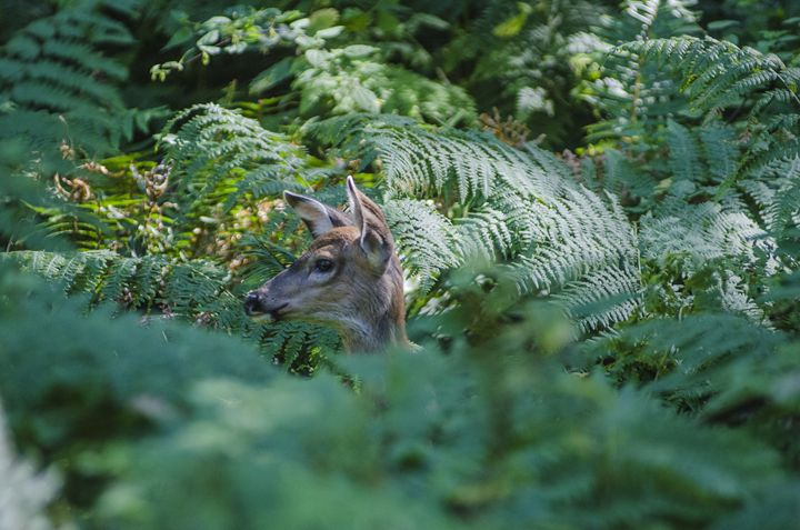 Poking Through The Ferns - Chad Sedam Photograhy