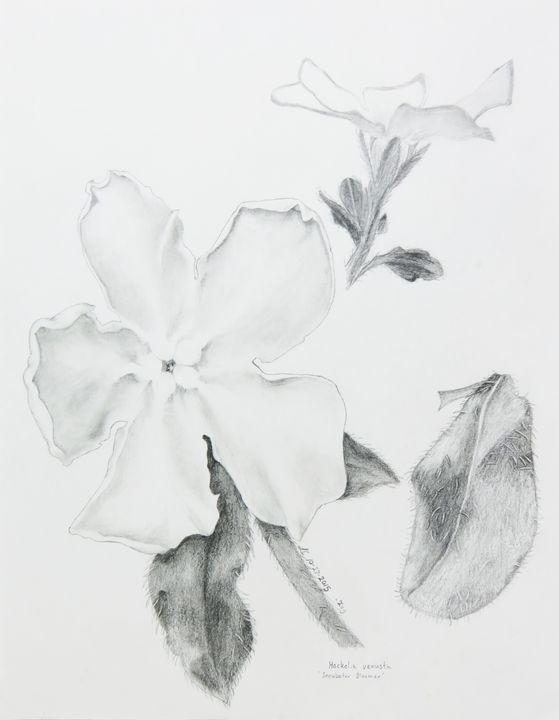 Hackelia venusta 'Incubator Bloomer' - IvyRadicans Art