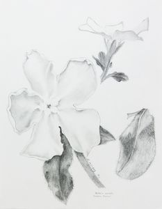 Hackelia venusta 'Incubator Bloomer'