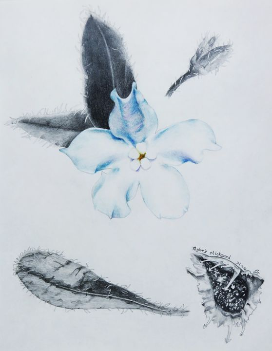 Taylor's stickseed - IvyRadicans Art