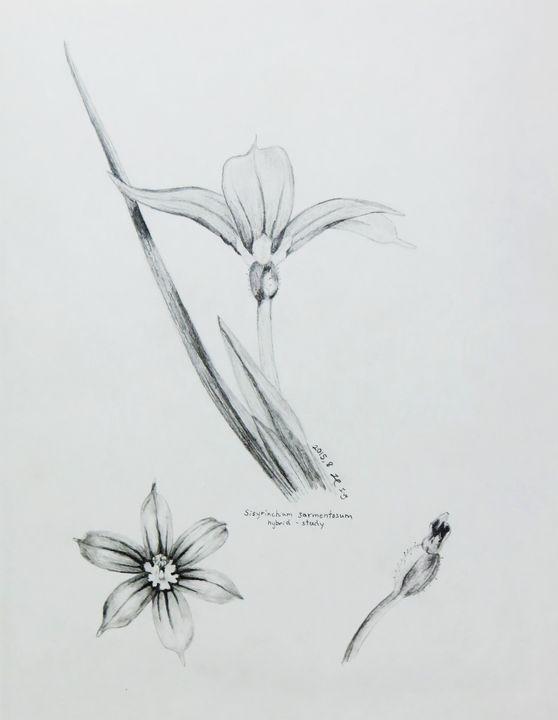 Sisyrinchium sarmentosum hybrid- sdy - IvyRadicans Art
