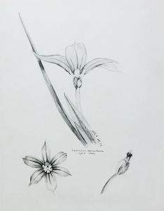 Sisyrinchium sarmentosum hybrid- sdy